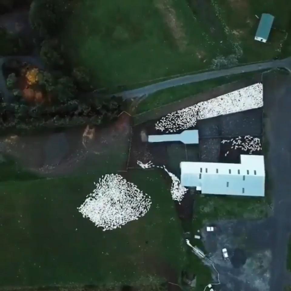 A sheepdog herding sheep #wildanimals