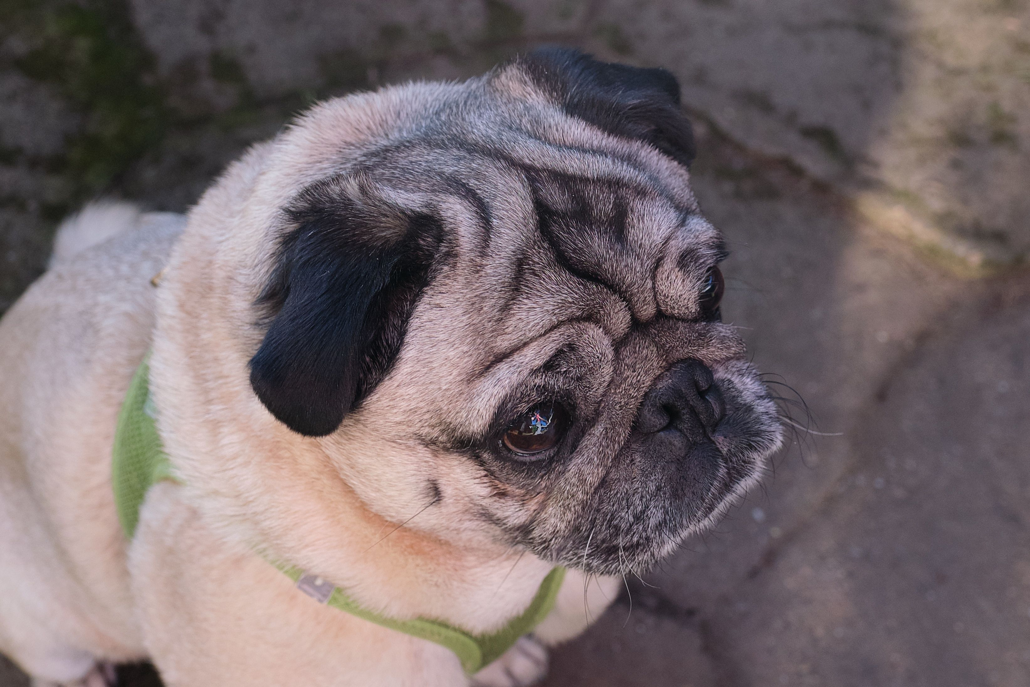 Worried Wrinkles On An Old Pug Dear Puppy Dog Pets Old