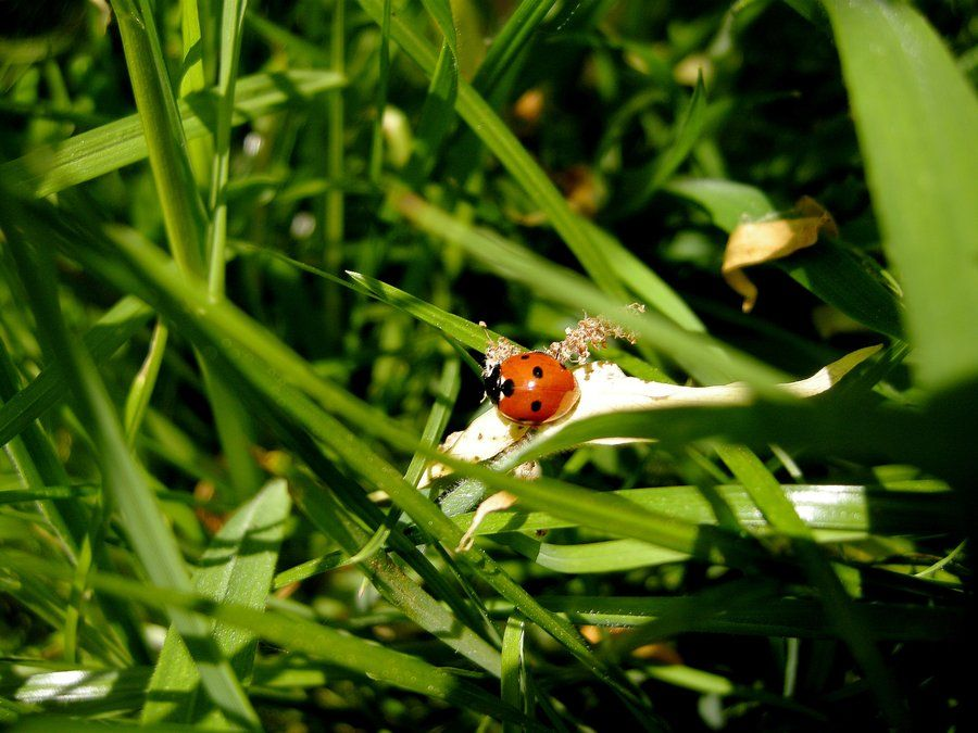 Ladybug in a bed of grass