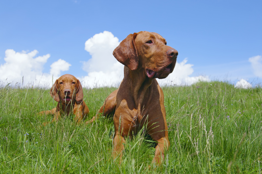Trained Vizsla Puppies Can Make a World of Difference