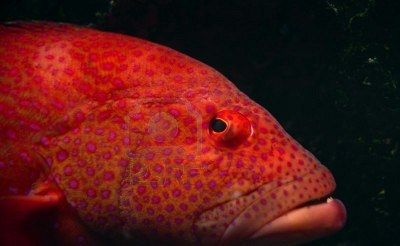 Close up of orange tropical fish with pink spots in an aquarium