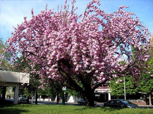 Pink Flowering Plum Tree Flowering Plum Tree Wild Plum Tree Plum Tree