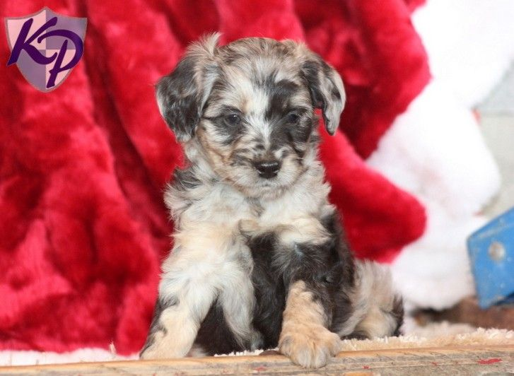 Puppy Finder Find Buy A Dog Today By Using Our Petfinder Mini Puppies Aussiedoodle Puppies For Sale