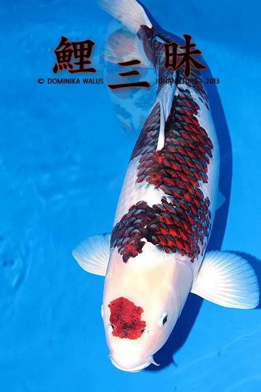 Pingl par joe shingeru sur koi pinterest bassin for Poisson rouge koi