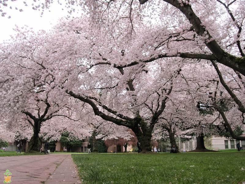 Yoshino Cherry Tree Flowering Cherry Tree Yoshino Cherry Tree Cherry Tree