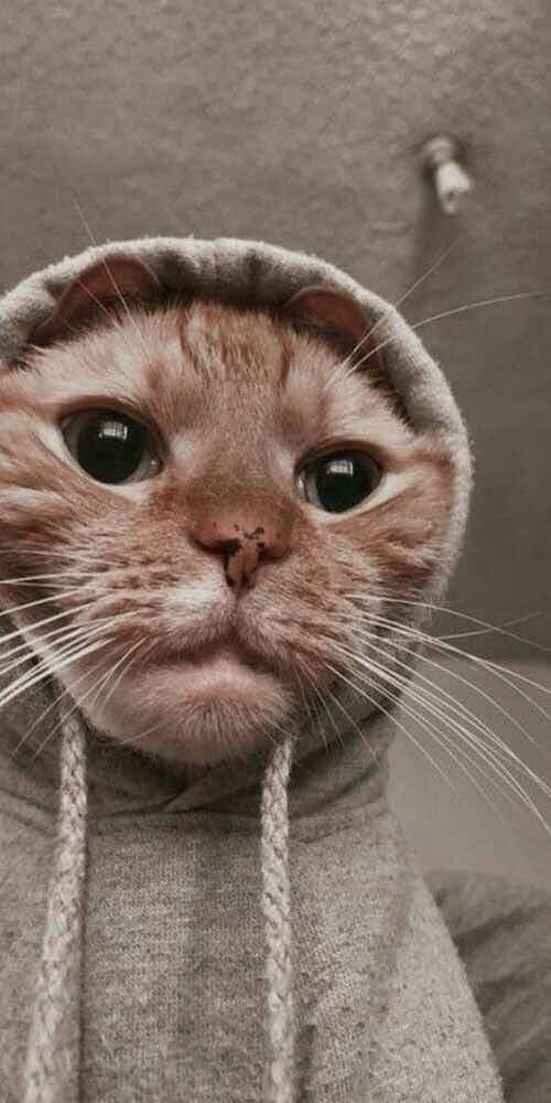 Iphone And Android Wallpapers Cat Gangster Wallpaper For Iphone And Android Cute Cat Wallpaper Cute Animals Cat Wallpaper