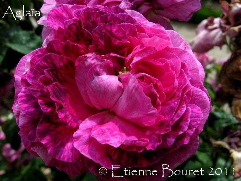 'Aglaïa ' Rose Photo | Hybrid tea roses, Rose photos, Rose varieties