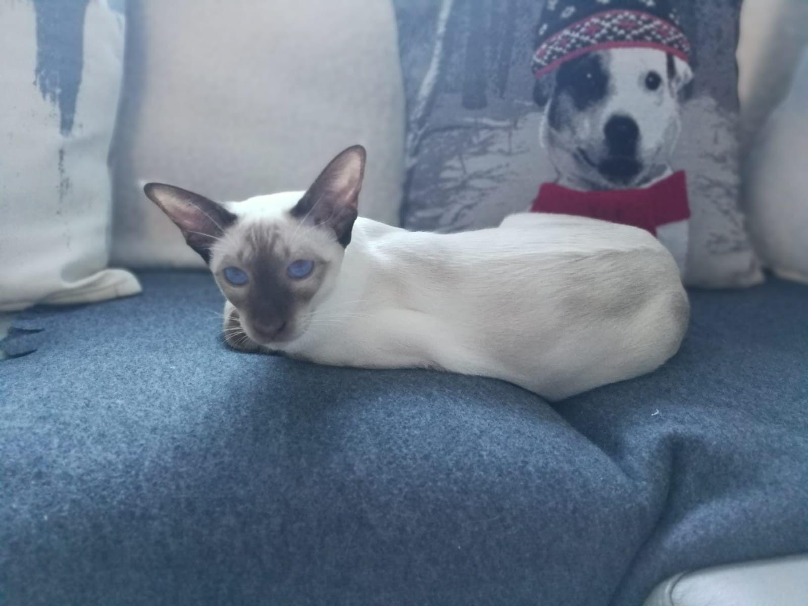 Maya My Siamese Chocolate Point Siamese Cats Dog Cat White Cats