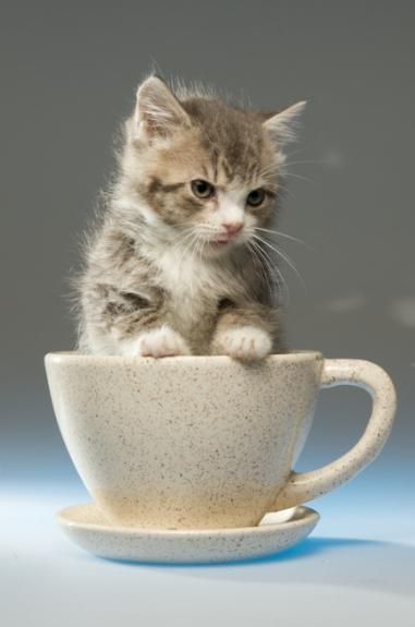 Coffee Tea Or Meow Teacup Cats Cute Baby Animals Kitten Pictures
