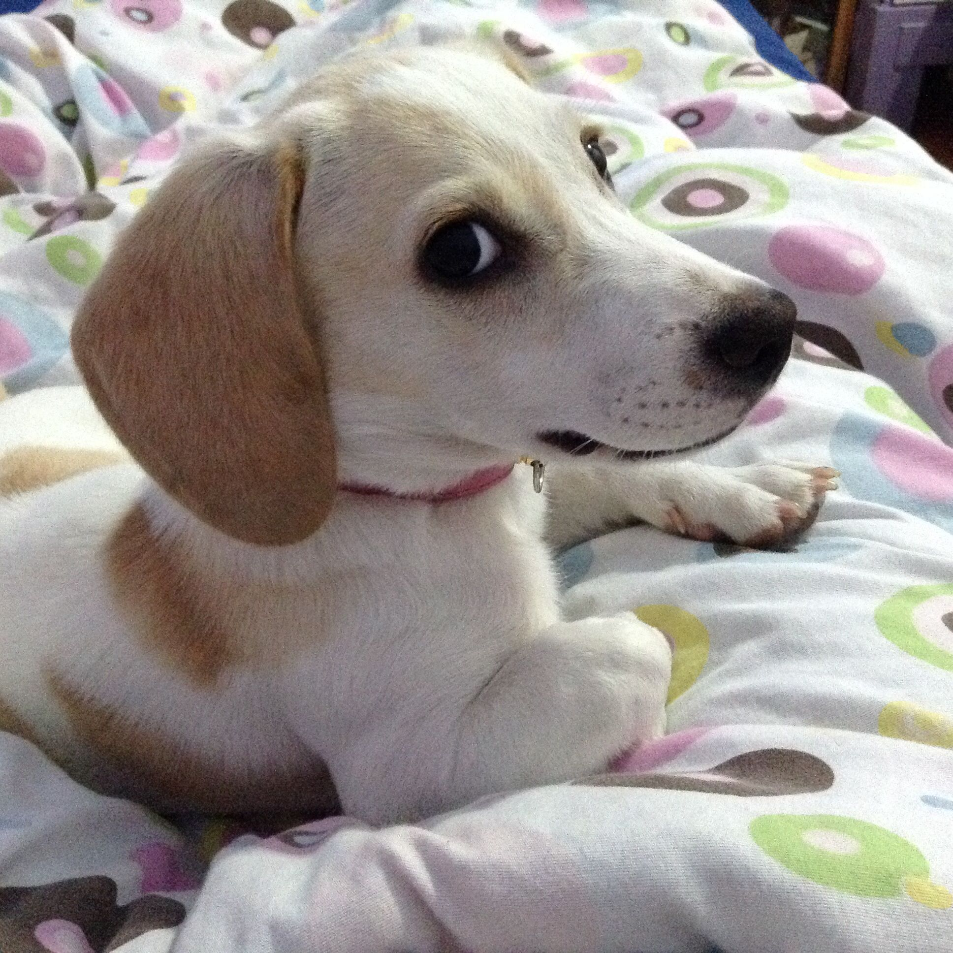 Must see Snoopy Beagle Beagle Adorable Dog - 18121dc047f0ddfb36b3c0ff81257cc7  Trends_98369  .jpg