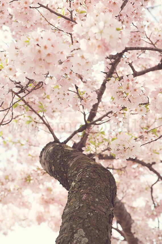 Sanctuary  - Photographic Print - Pink, Cherry Blossom, Spring, Festival, Washington, D.C., Japanese, Decorative, Photography, Fine Art,