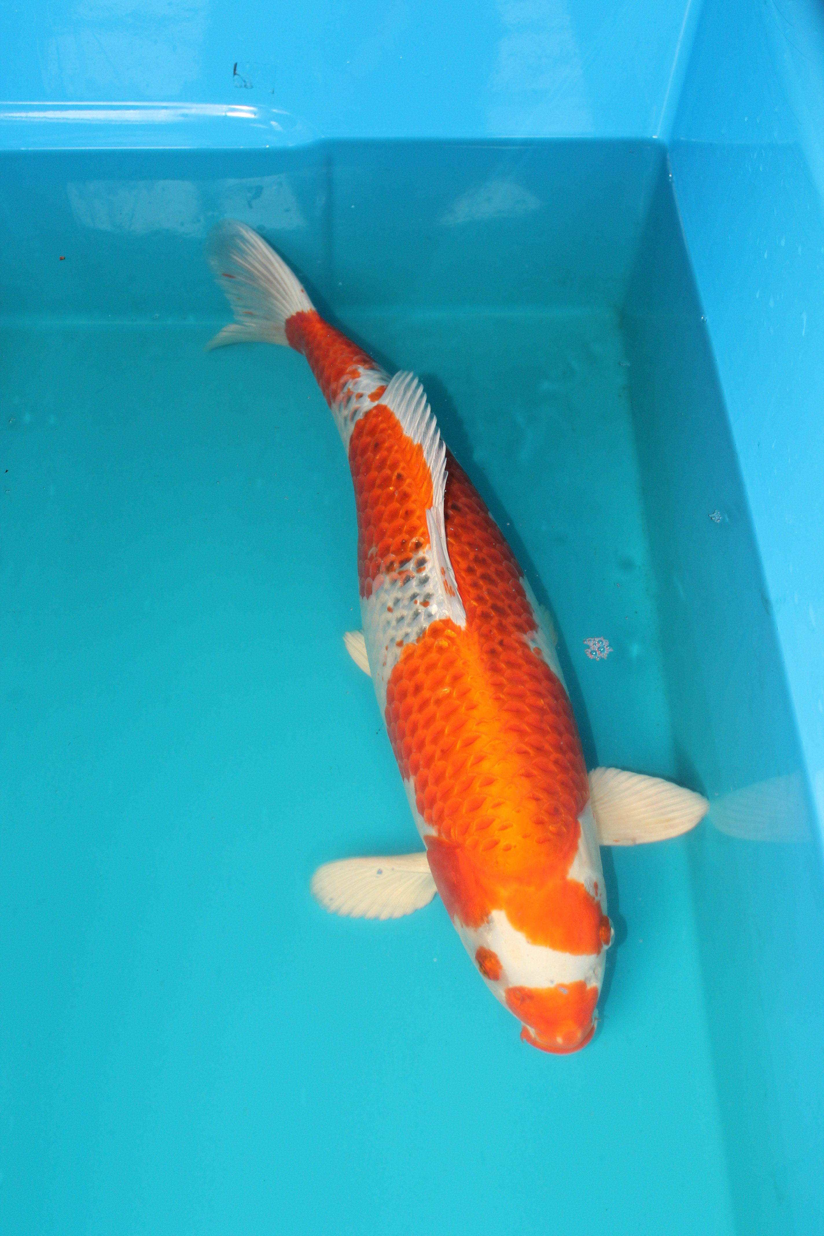 Koi For Sale Showa Koi, Koi Fish For Sale, Kohaku, Koi Carp