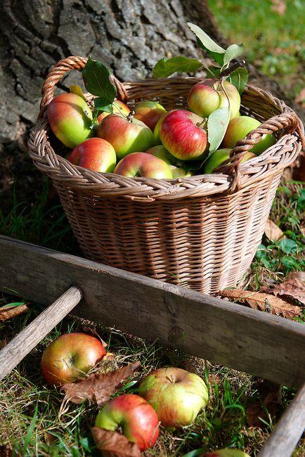 Appels uit eigen tuin. Iedere collega kan een zak krijgen. Ze worden nu ook aan de weg verkocht.