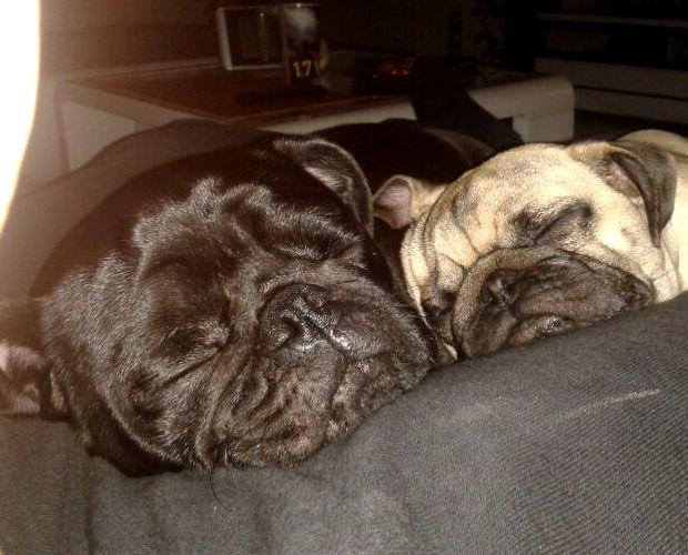 Möpse Charlie & Fred Schnarchnasen…   Hundename: Charlie & Fred / Rasse: Möpse      Mehr Fotos: https://magazin.dogs-2-love.com/foto/moepse-charlie-fred/ Foto, Hunde