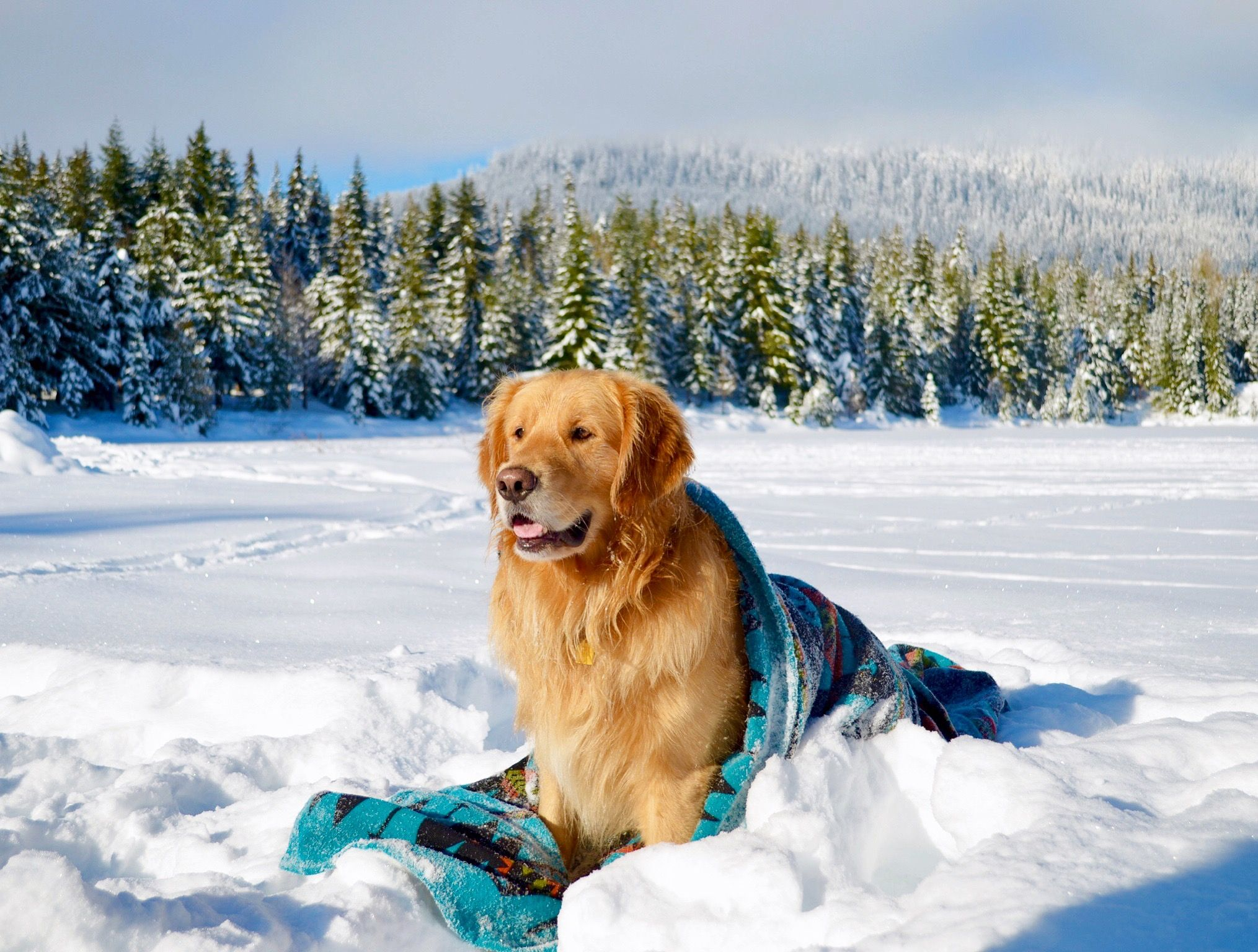 Snow Golden Retriever Golden Retriever Puppy Golden Retriever