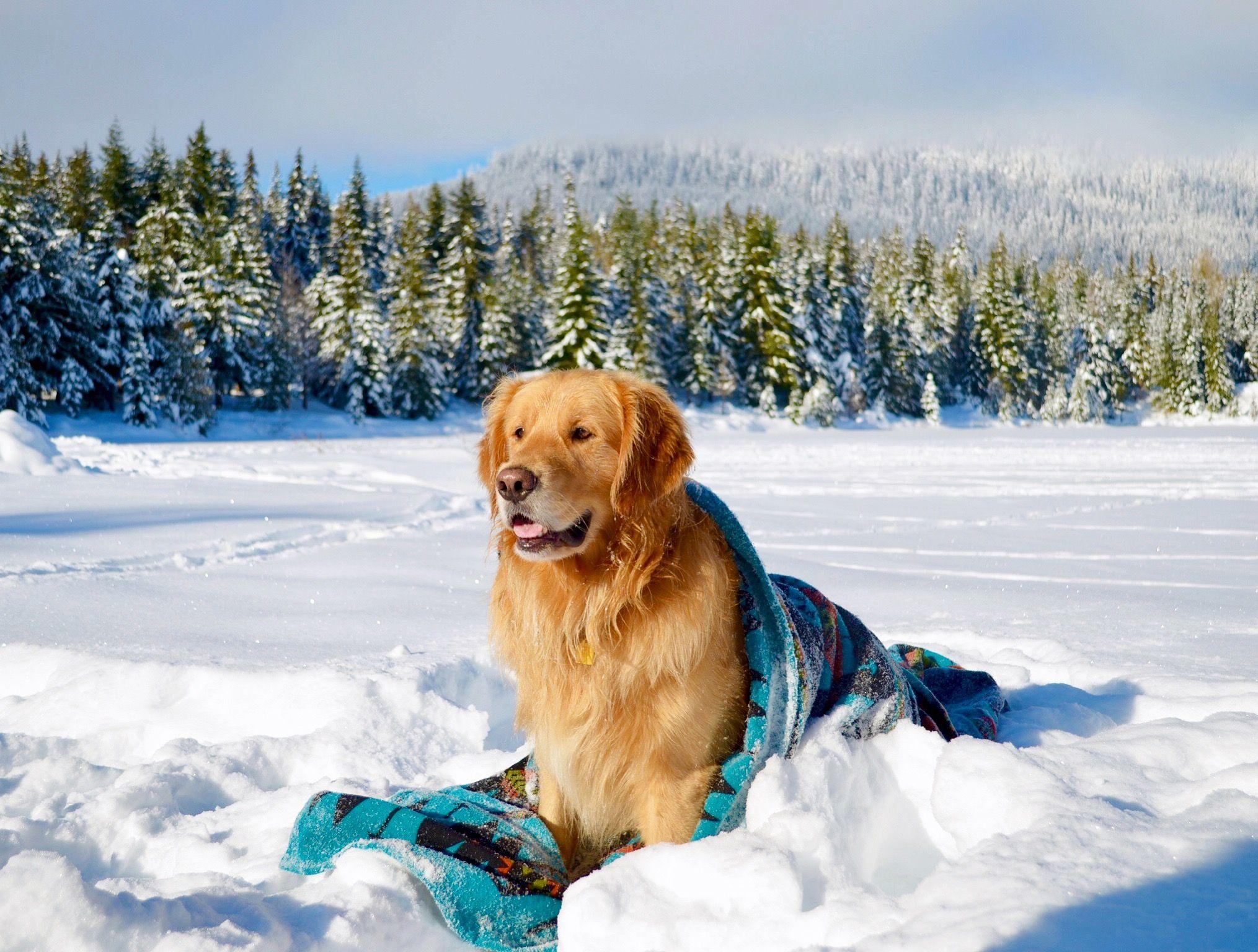 Dog Photography Lifestyle Golden Retriever North Cascades Mt