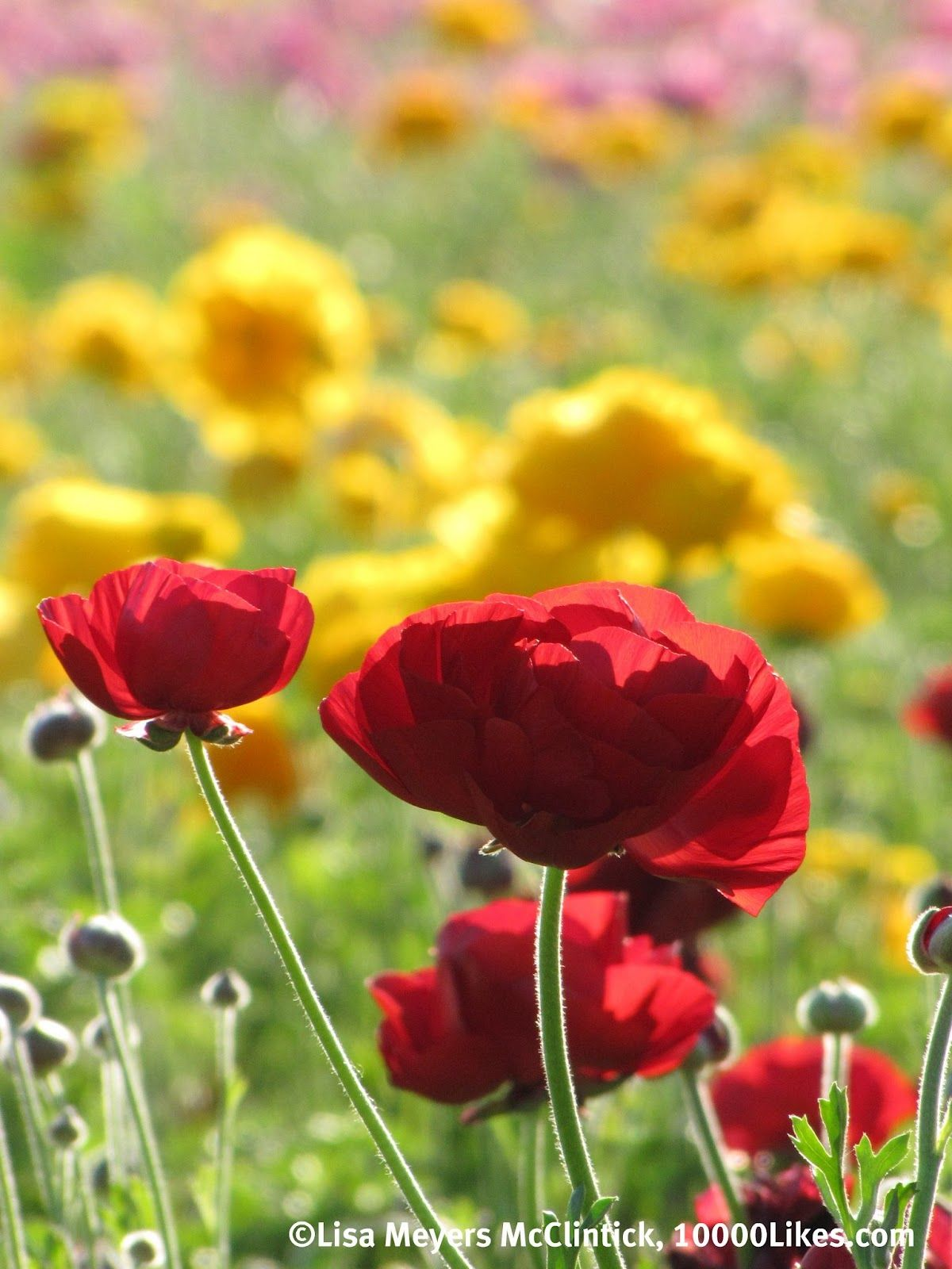 What Flowers Bloom In March In California Google Search California Flowers Flower Field Flowers