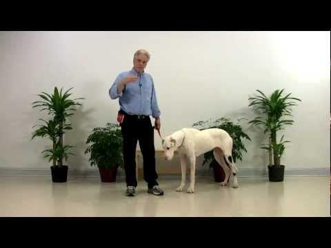 Training A Deaf Dog Dog Training Great Dane Deaf Dog