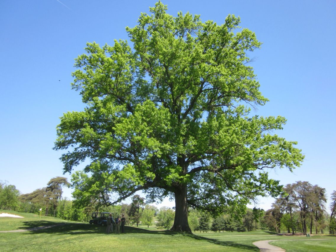 Pin oak Mature height- 60-70 ft spread-25-40 ft Growth conditions ...