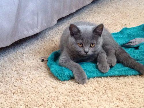 My 12 Week Old British Shorthair Kitten British Shorthair Kittens British Shorthair Kitty