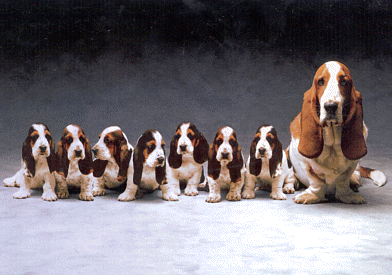 Cynthia Connell On My Future Puppy Pinterest Basset Hound