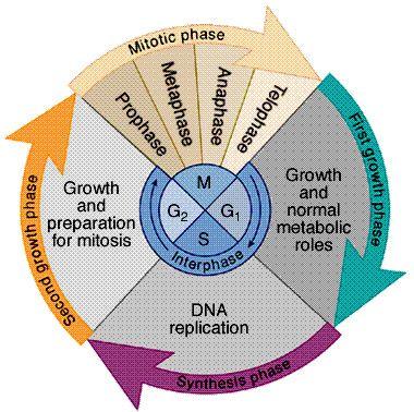 cellcycle, mitosis + meiosis.