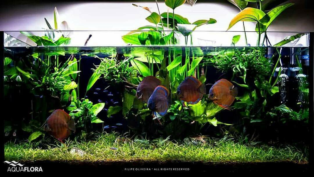 Echinodorus Amp Discus What An Amazing Combination Layout