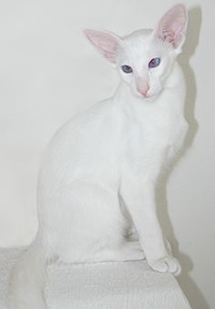 Foreign White Balinese Siamese Siamese Cats Blue Point Oriental Shorthair Cats Devon Rex Cats