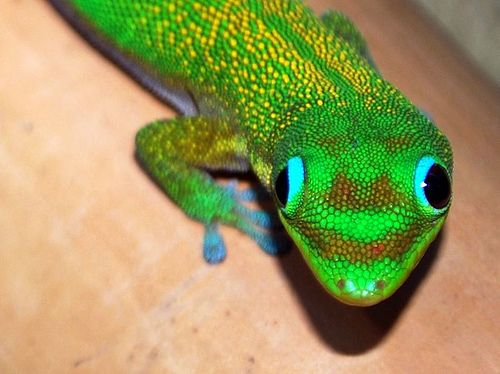 Gold Dust Day Gecko (Phelsuma laticauda)  Geckos are good luck
