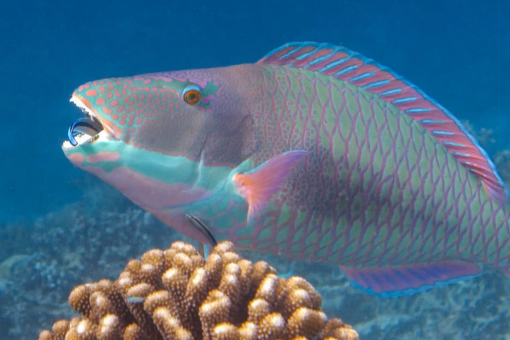 Tricolour Parrotfish Scarus Tricolor Cleaner Wrasse Labroides Bicolor Animals Beautiful Tri Color Wrasse