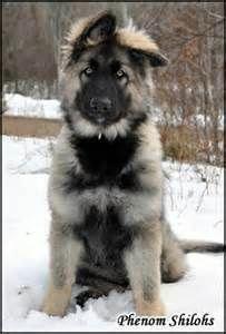 All About The Confident German Shepherd Health Germanshepherdlife