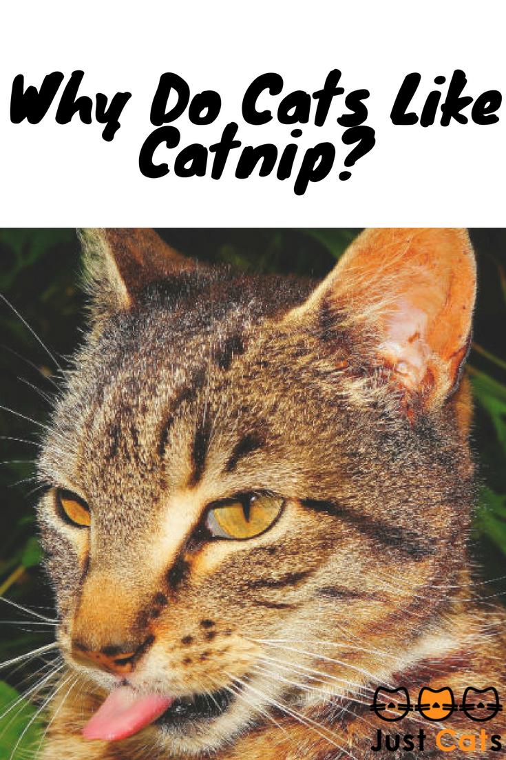 Why Do Cats Like Catnip? Catnip, Cats, Cat toys