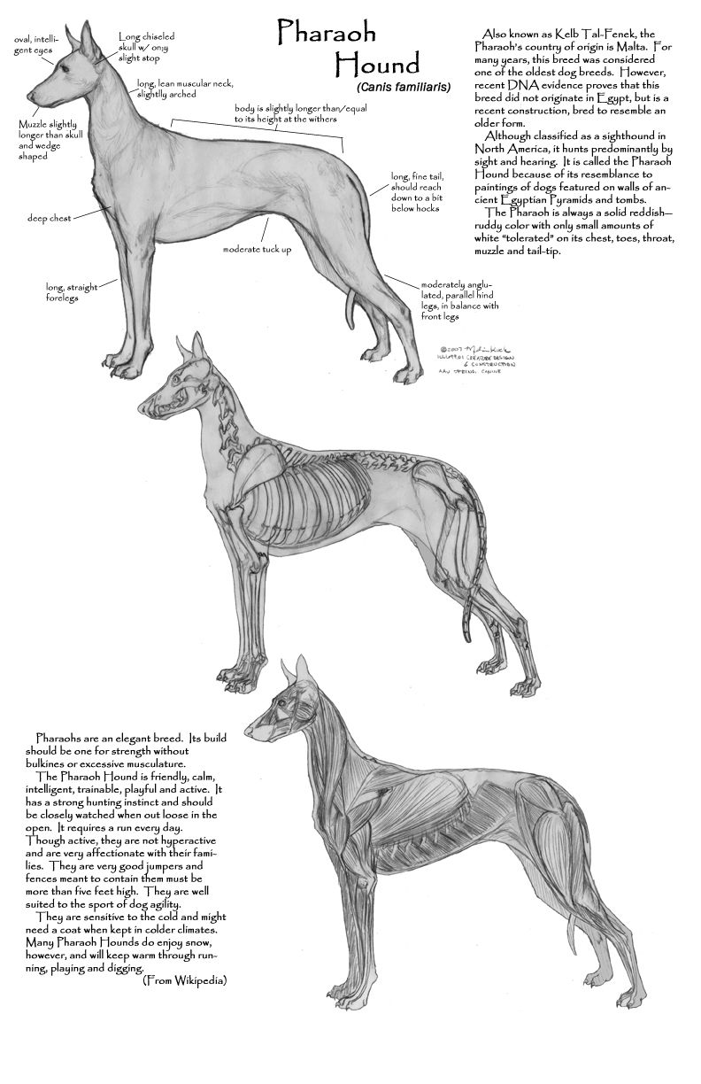 Pharaoh hound anatomy: some insight into why they were so