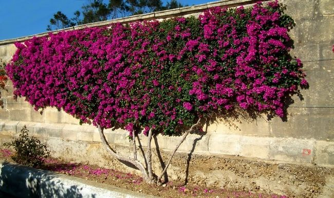 Bougainvillea Vertical Garden Green Wall Garden Plants