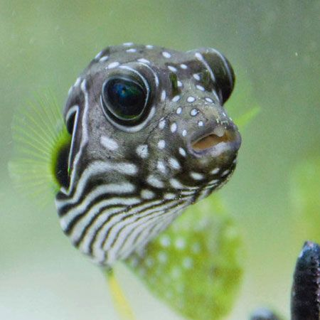 Stars And Stripes Puffer Stripes Fish For Sale Puffer