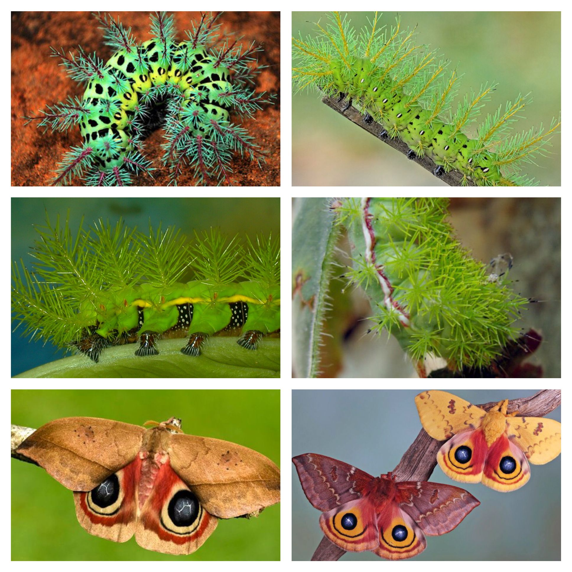 Automeris metzli is a moth of the Saturniidae family. It