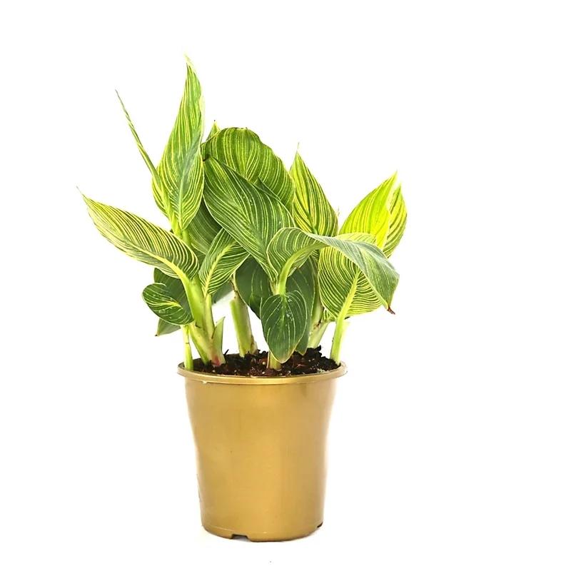 Canna Tropicanna® Gold Cana var. 1.8m x 50cm Bunnings