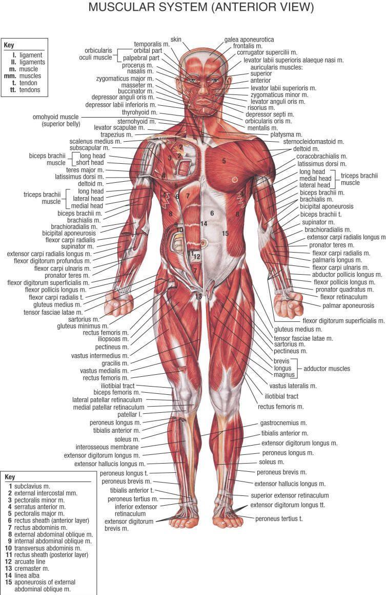 primal muscle-front | MA | Pinterest | Anatomía, Medicina y Cuerpo ...