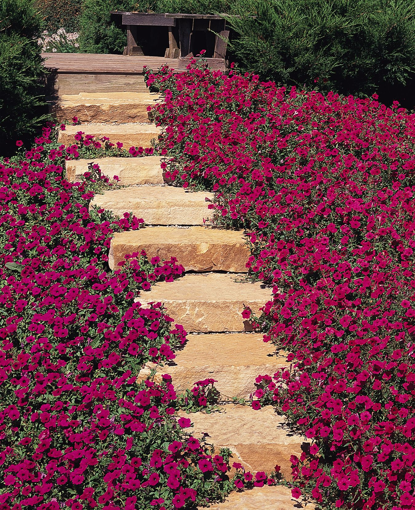 Purple Pathway Wave Petunias Beautiful Gardens Petunias