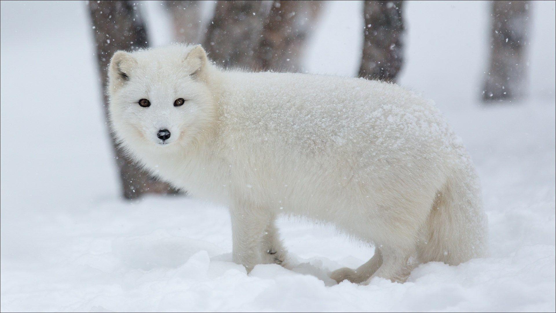 1920x1080px Arctic Fox Wallpaper Pack 1080p Hd By Zeandre Thomas