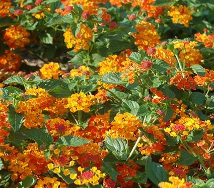Lantana Hanging Basket Classy Lantana Camara Luscious® Marmalade  Marmalade Garden Ideas And Gardens Decorating Design