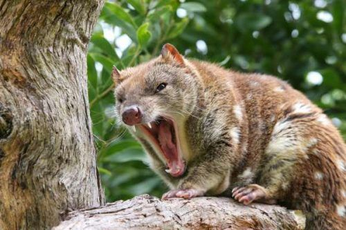 Image Result For Tiger Quoll