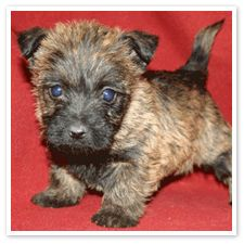 Carin Terrier Puppy Jen Inumerable Burleson Carin Terrier Puppies Cairn Terrier Puppies Cute Puppies