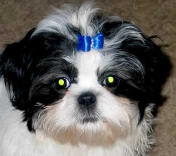 Shih Tzu Puppies Shih Tzu Breeder Shih Tzu Puppies Cle Elum Wa