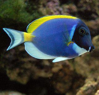 Powder Blue Tang Marine Fish Saltwater Tank Tropical Fish