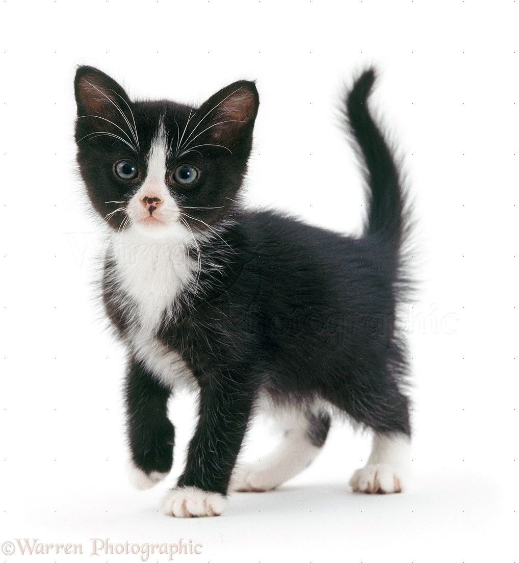 kittens black and white Google Search Cat Reference