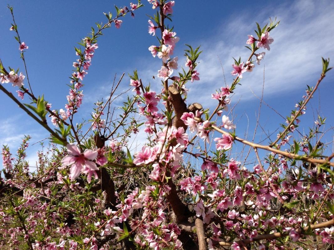 Blossom Into Spring Blossom Peach Blossoms Trip Planning