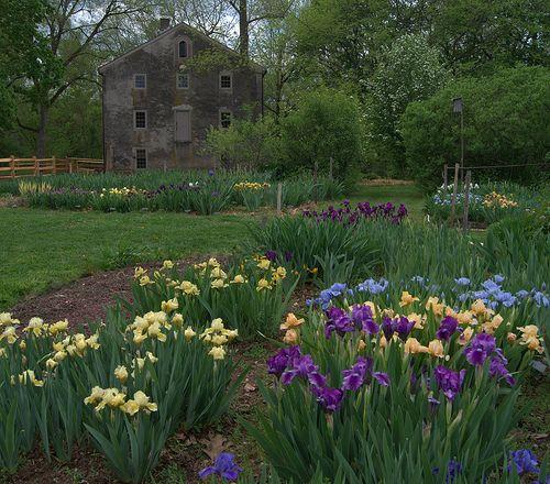 Iris Garden, April 30, Springfield Mills