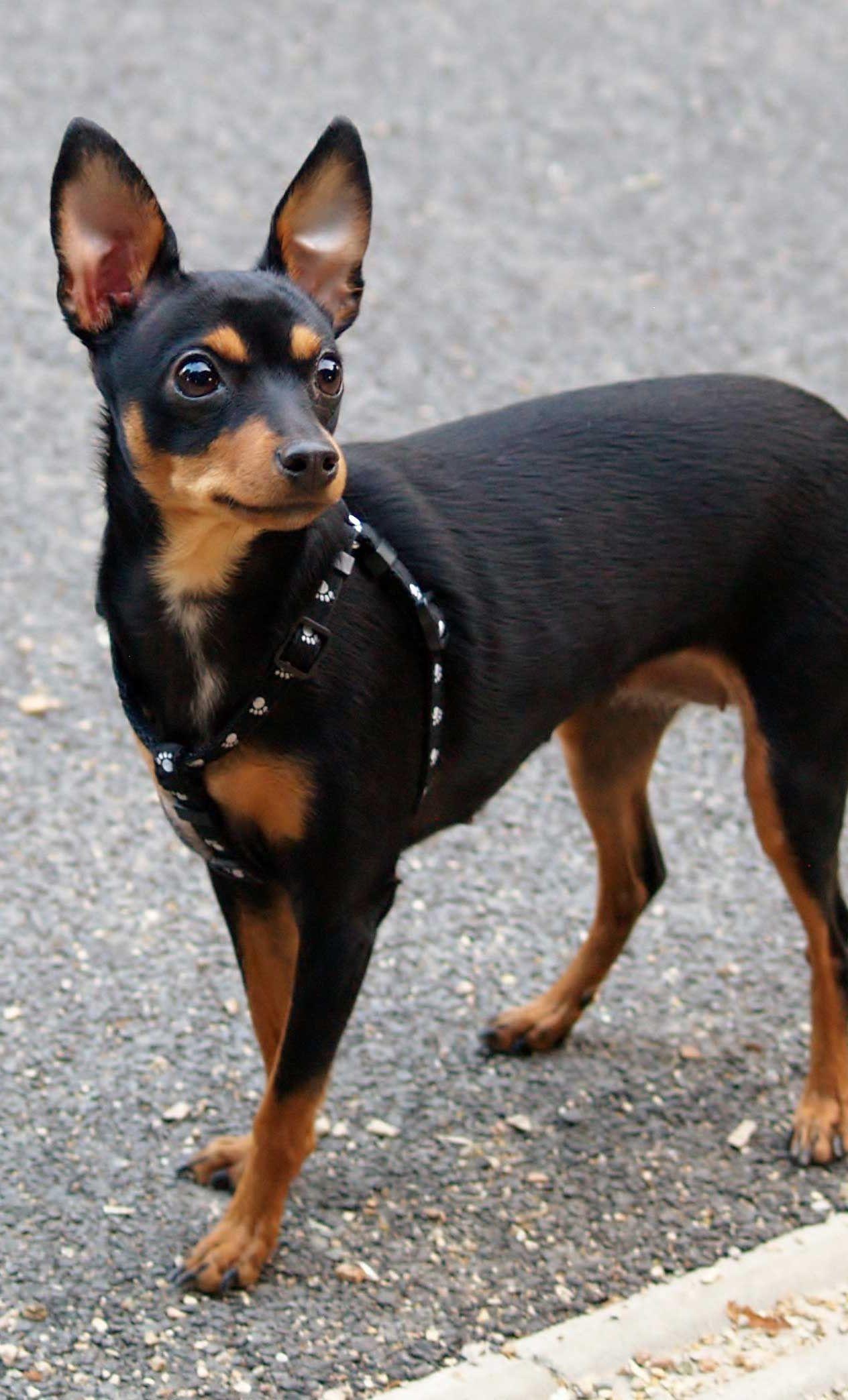 3 Miniature Pinscher Mini Doberman Doberman Pinscher Puppy Miniature Pinscher Dog