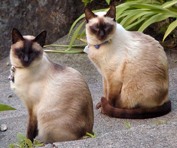 7 Garbage Bags Of Dead Siamese Cats Dumped In Texas Amo Animais